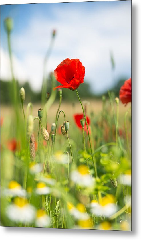 Corn Poppy Metal Print featuring the photograph Summer Meadow With Red Poppy by Matthias Hauser