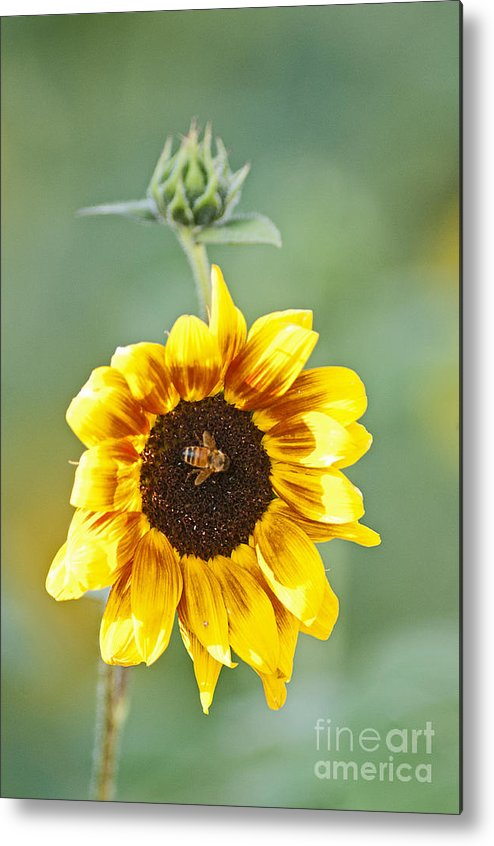 Sunflower Metal Print featuring the photograph Sunflower With Honey Bee. by Earl Nelson