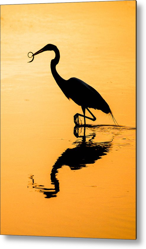 Sunset  Great Blue Heron   Birds   Reflection Metal Print featuring the photograph Sunset. Great Blue Heron. by Yury Loginov