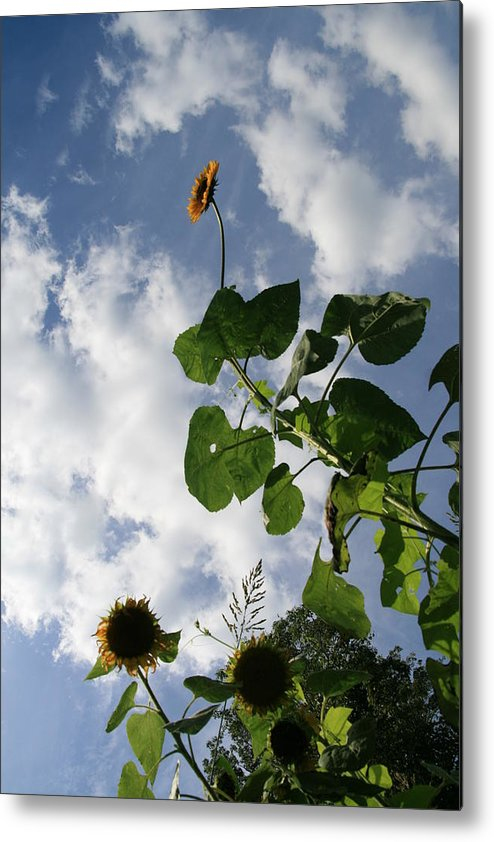 Sunflower Metal Print featuring the photograph Super Sunflower by Neal Eslinger