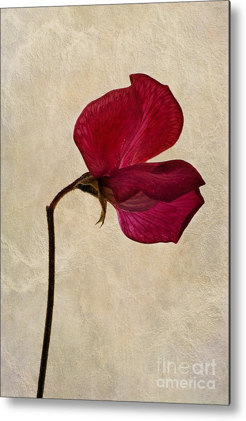 Sweet Pea Metal Print featuring the photograph Sweet Textures by John Edwards