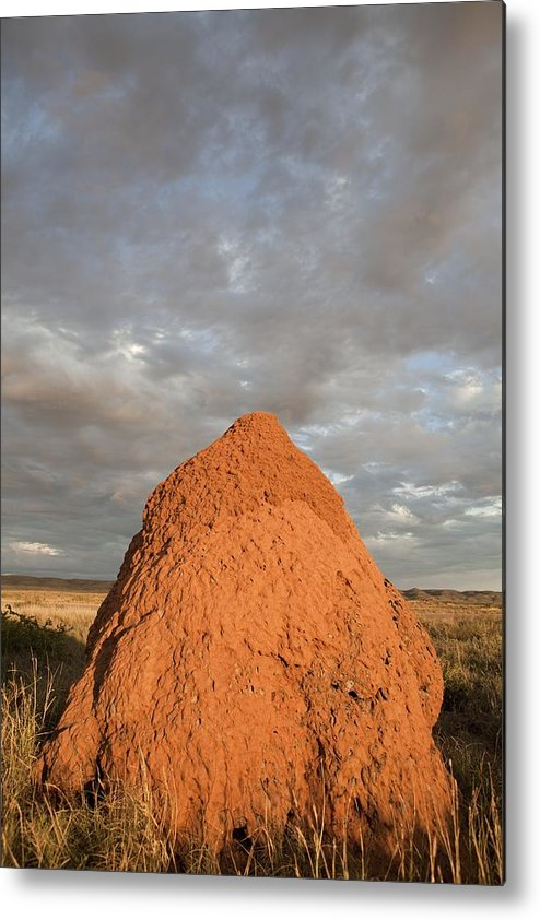 termite Nest Metal Print featuring the photograph Termite Mound, Exmouth, Australia. by Science Photo Library