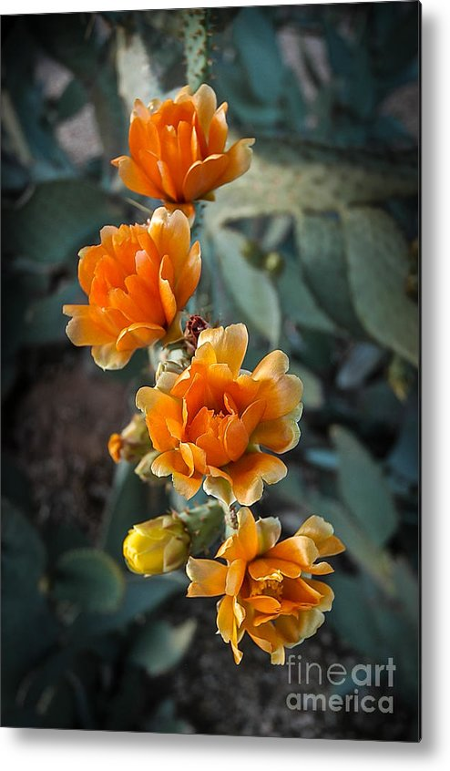 Cactus Metal Print featuring the photograph The Softer Side Of The Cactus by Ken Andersen