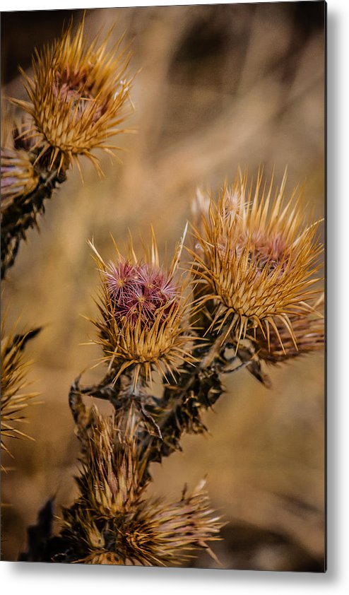Colorado Metal Print featuring the photograph Thistle by Karen Saunders