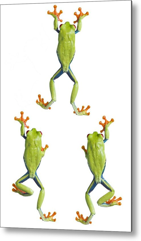 Amphibian Metal Print featuring the photograph Three Red Eyed Tree Frogs Climbing by Corey Hochachka