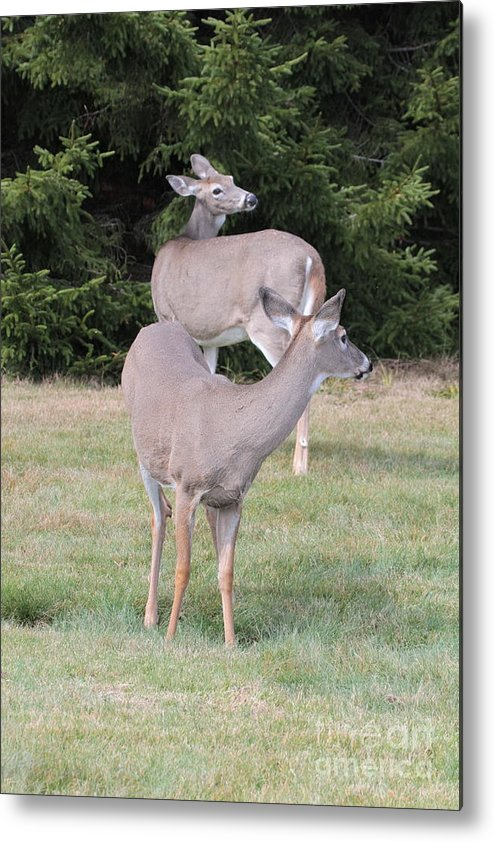 Doe Metal Print featuring the photograph Two Does 1 Of 24 by Dwight Cook