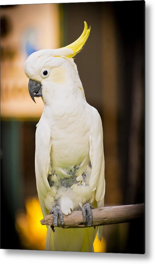 Metal Print featuring the photograph Umbrella Cockatoo by Andrea Floyd