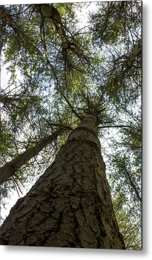Trees Metal Print featuring the photograph Upward Perspective by Jude Humeniuk