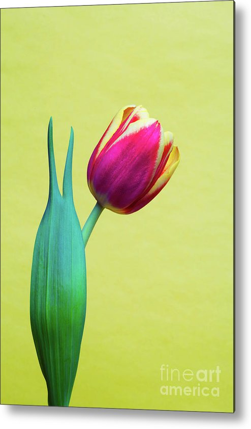 Bold Metal Print featuring the photograph Vibrant Tulip Peace Sign  by Linda Matlow