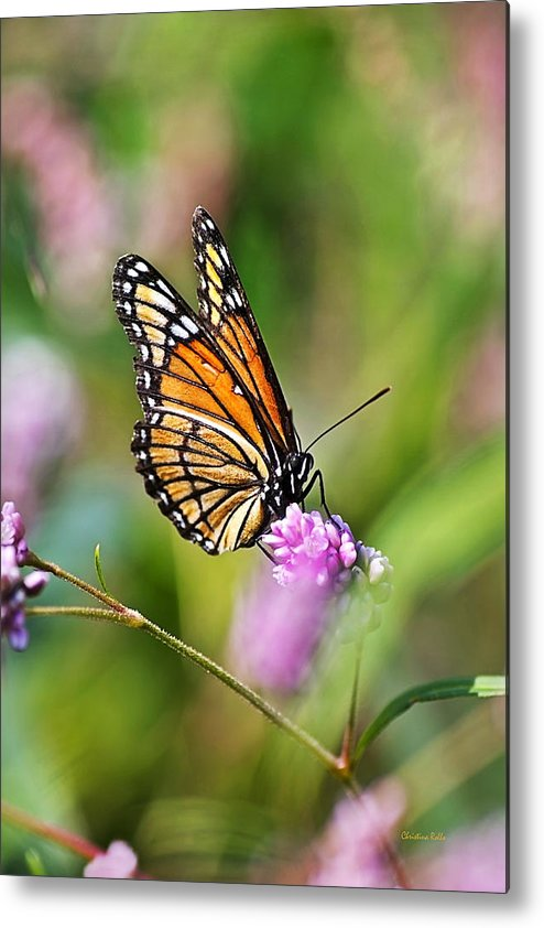 Viceroy Butterfly Metal Print by Christina Rollo