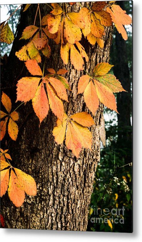 Virginia Creeper Metal Print featuring the photograph Virginia Creeper Autumn Color by Thomas R Fletcher