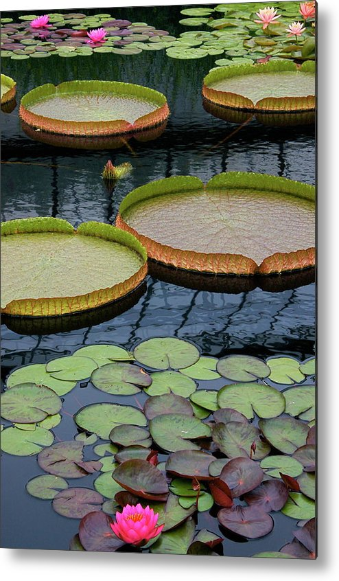 Aquatic Plants Metal Print featuring the photograph Waterlilies And Platters 2 by Byron Varvarigos