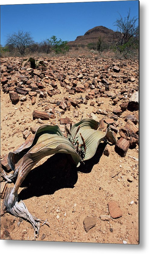Welwitschia Mirabilis Metal Print featuring the photograph Welwitschia Mirabilis In Petrified Forest by Sinclair Stammers/science Photo Library