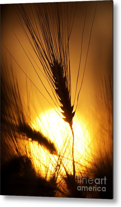 Sunset Metal Print featuring the photograph Wheat At Sunset Silhouette by Tim Gainey