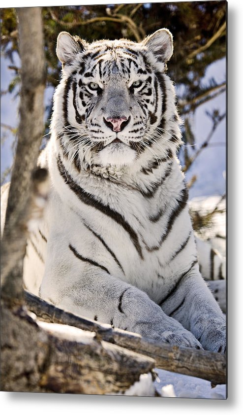 Light Metal Print featuring the photograph White Bengal Tiger, Forestry Farm by Chad Coombs