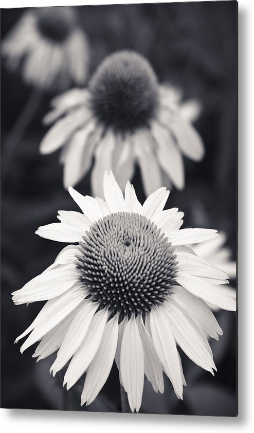 3scape Photos Metal Print featuring the photograph White Echinacea Flower Or Coneflower by Adam Romanowicz