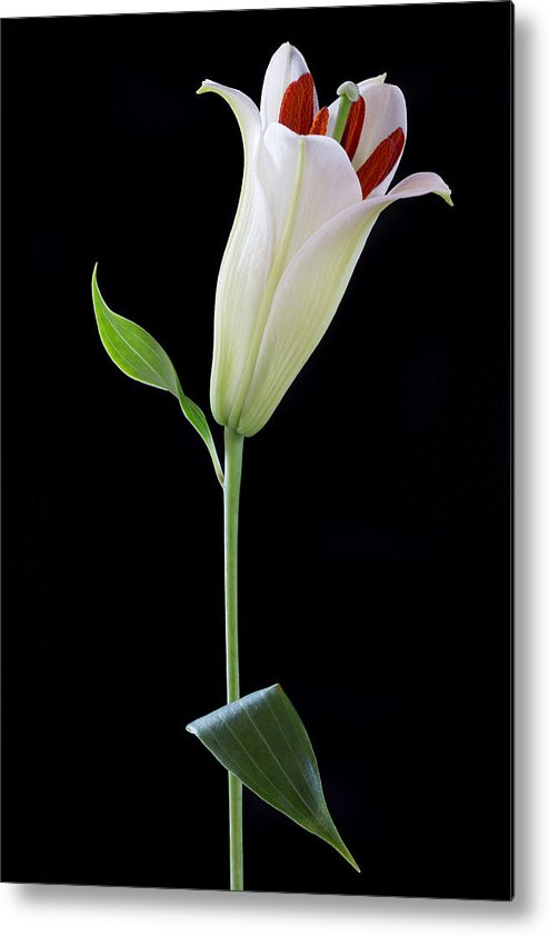 Floral Metal Print featuring the photograph White Lily Bud by Kim Aston