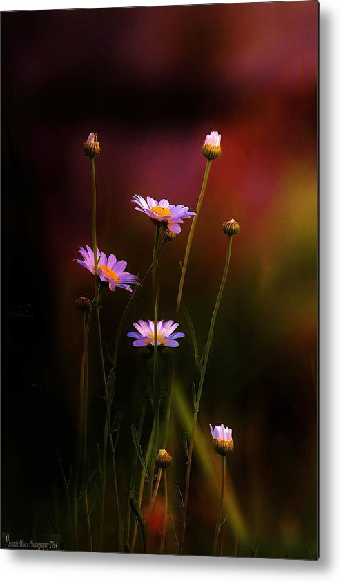 Flowers Landscapes Daisy Metal Print featuring the photograph Wild Daisy Flowers by Joanie Leport