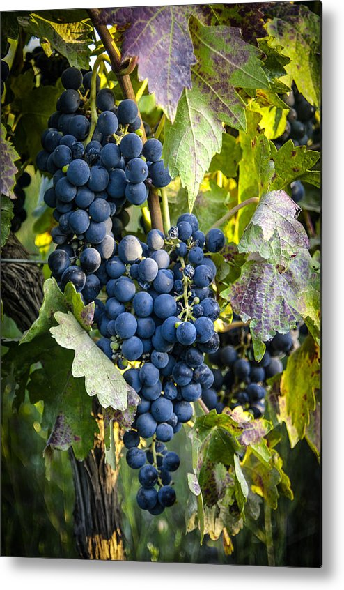 Grapes Metal Print featuring the photograph Wine Grapes by Tetyana Kokhanets