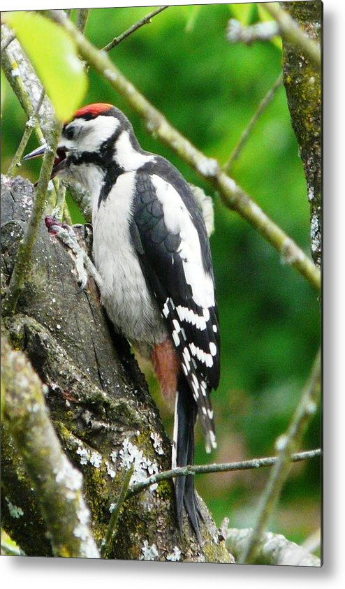 Bird Metal Print featuring the photograph Woodpecker Swallowing A Cherry by Valerie Ornstein