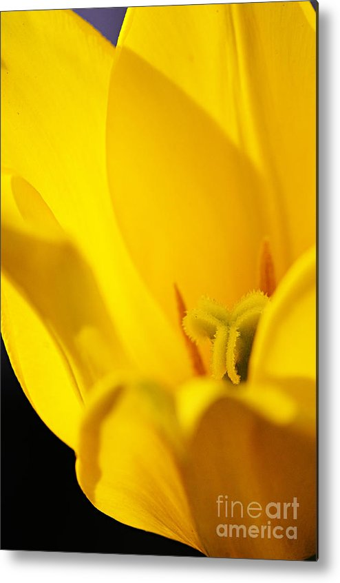 Photography Metal Print featuring the photograph Yellow Tulip Closeup by Larry Ricker
