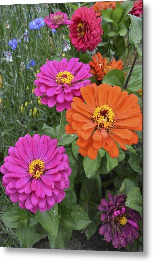 Flower Metal Print featuring the photograph Zinnia Garden by William Hallett