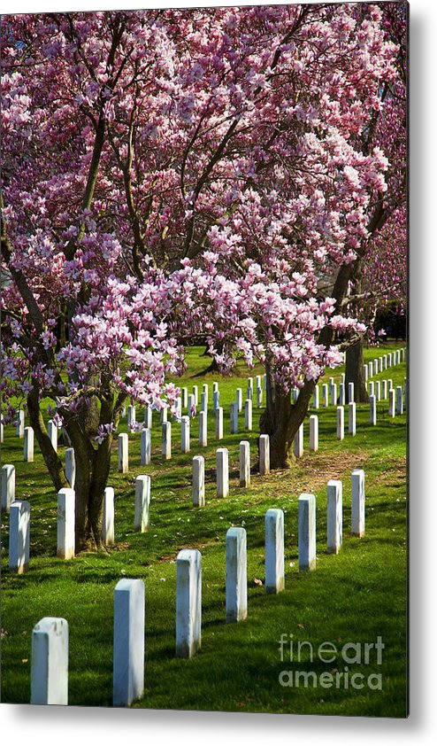 Blossoms Metal Print featuring the photograph Arlington Cherry Trees by Brian Jannsen
