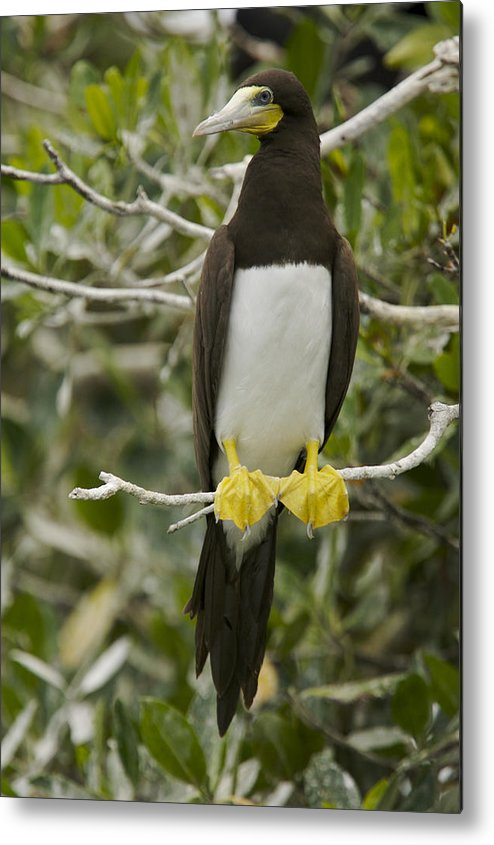 Photography Metal Print featuring the photograph Brown Booby, Sula Leucogaster by Tim Laman