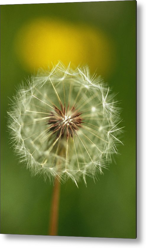 Plants Metal Print featuring the photograph Close View Of A Dandelion Gone To Seed by Nicole Duplaix