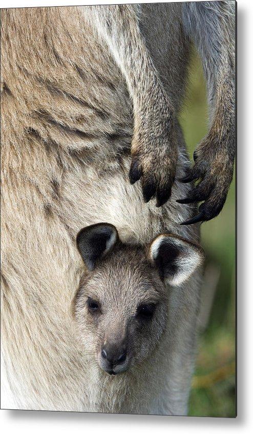 Macropus Giganteus Metal Print featuring the photograph Eastern Grey Kangaroo Joey by Tony Camacho