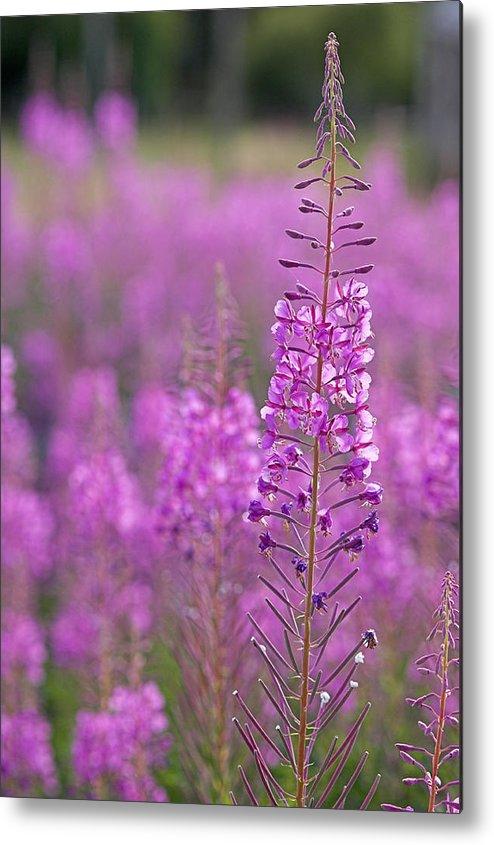 Rosebay Willow Herb Metal Print featuring the photograph Epilobium Angustifolium by Duncan Shaw