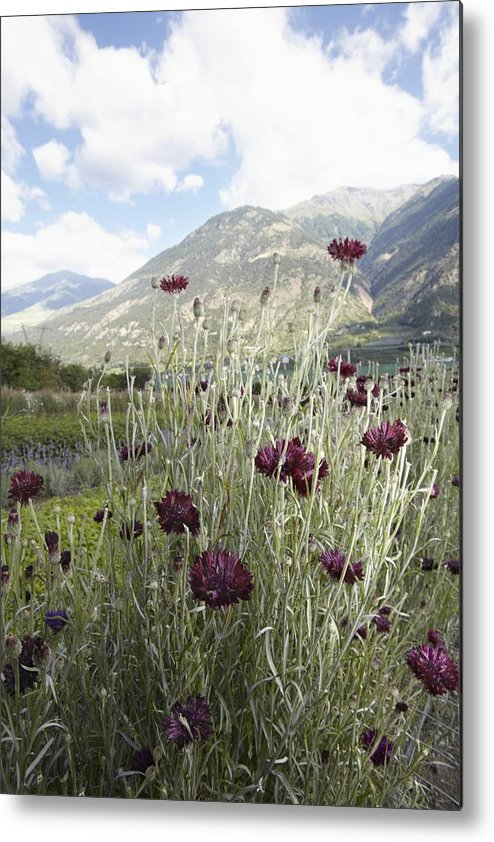 Vertical Metal Print featuring the photograph Field Of Flowers In Rural Landscape by Stefano Gilera