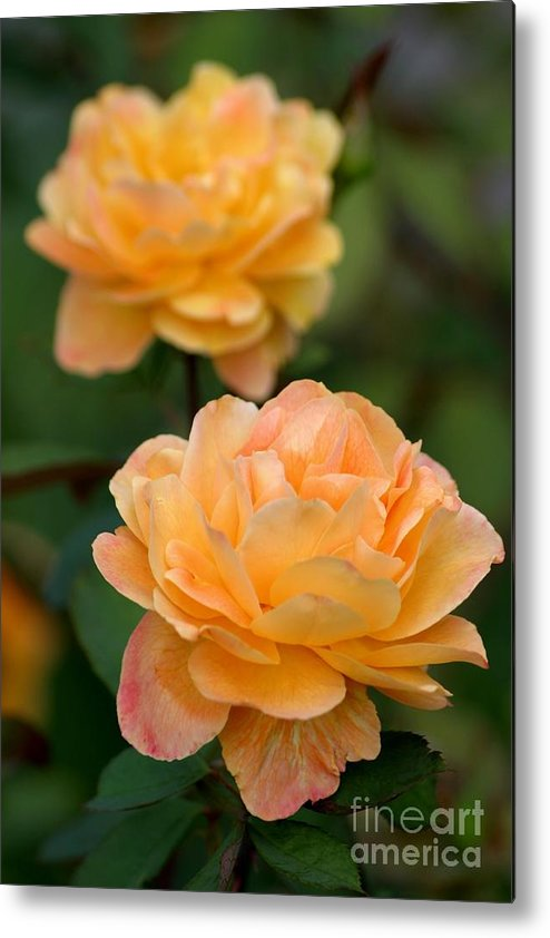 Roses Metal Print featuring the photograph Golden Days Of Summer by Living Color Photography Lorraine Lynch