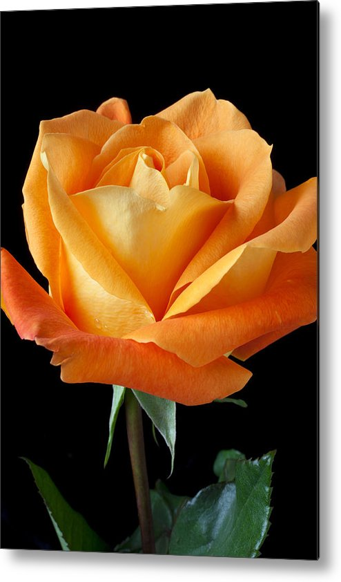 Vertical Metal Print featuring the photograph Single Orange Rose by Garry Gay