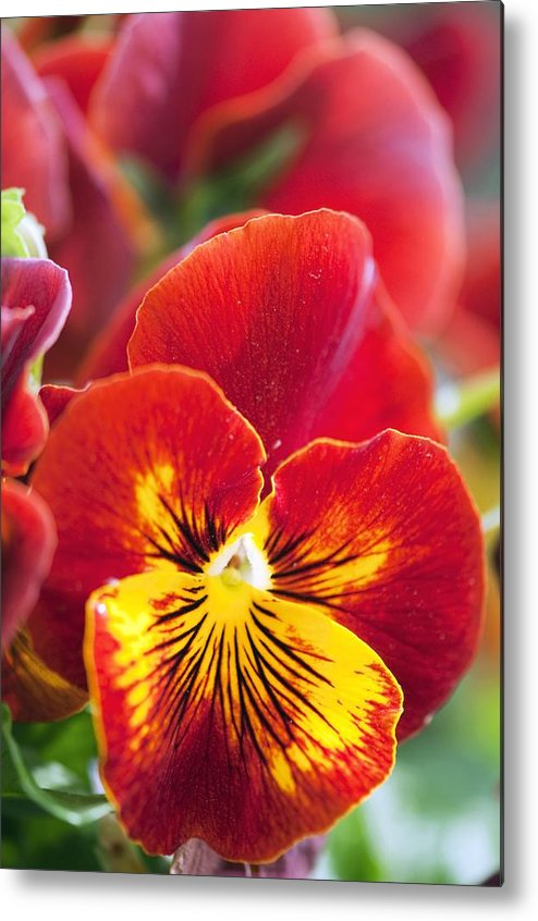 Pansy Metal Print featuring the photograph Pansy (viola X Wittrockiana) by Maria Mosolova
