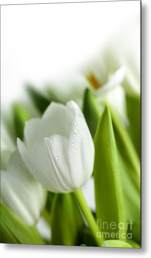 Dew Metal Print featuring the photograph White Tulips 3 by Nailia Schwarz