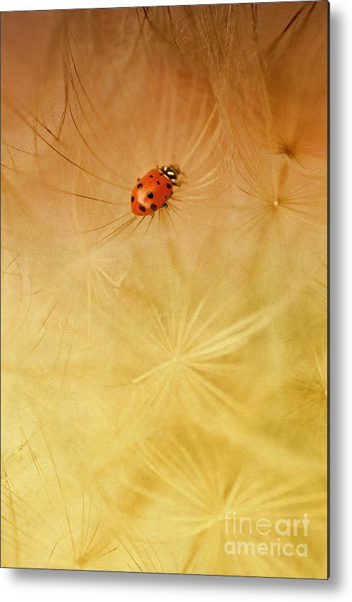 Insect Metal Print featuring the photograph Dandelions by Iris Greenwell