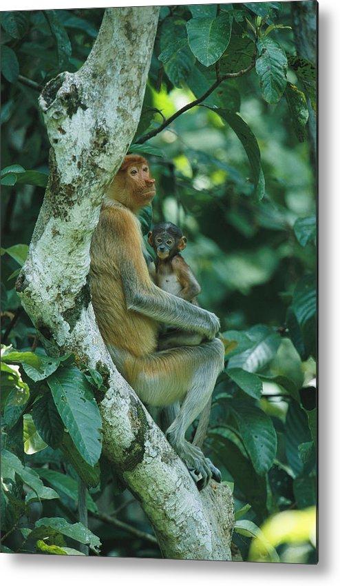 Outdoors Metal Print featuring the photograph A Proboscis Monkey by Tim Laman
