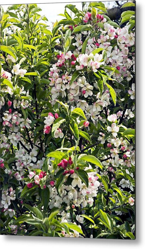 Apple Metal Print featuring the photograph Apple Blossom (malus 'pom Zai') by Adrian Thomas