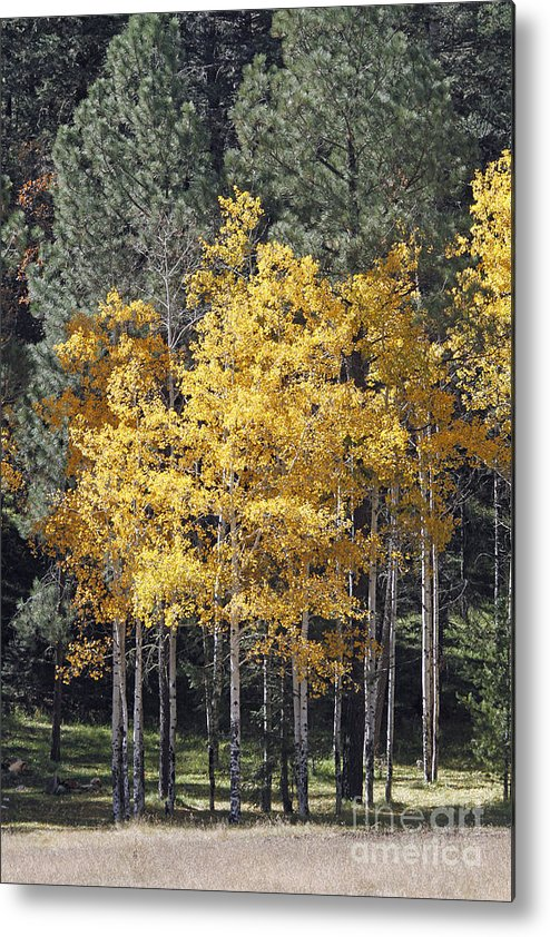 Aspen Metal Print featuring the photograph Aspens In Color by Shawn Naranjo