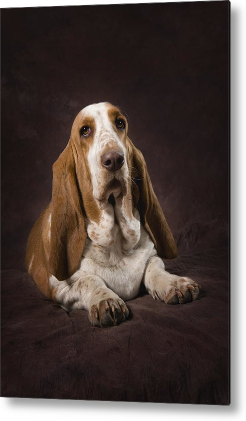 Basset Hound Metal Print featuring the photograph Basset Hound On A Brown Muslin Backdrop by Corey Hochachka