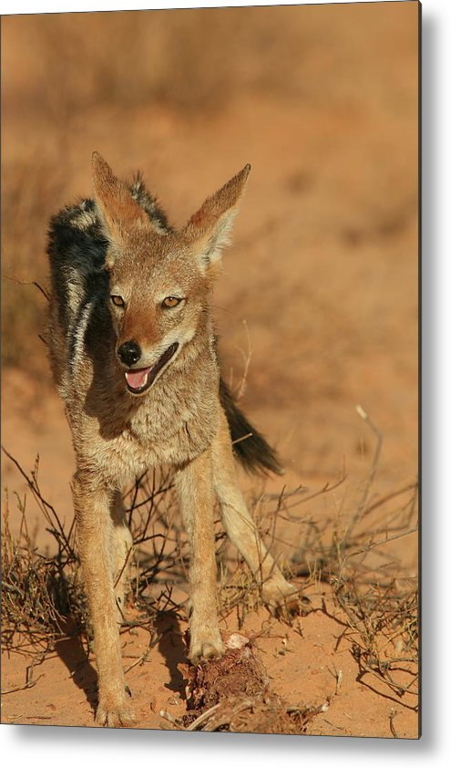 Africa Metal Print featuring the photograph Black-backed Jackal by Bruce J Robinson