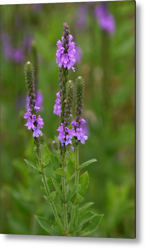 Wildflower Metal Print featuring the photograph Blue Vervain by Rick Rauzi
