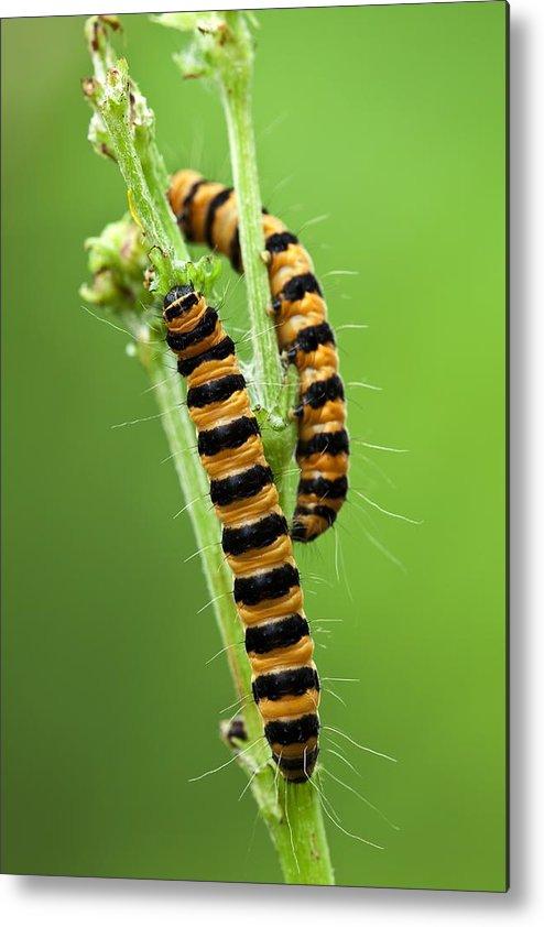 Cinnabar Moth Metal Print featuring the photograph Cinnabar Moth Caterpillars by Jerzy Gubernator