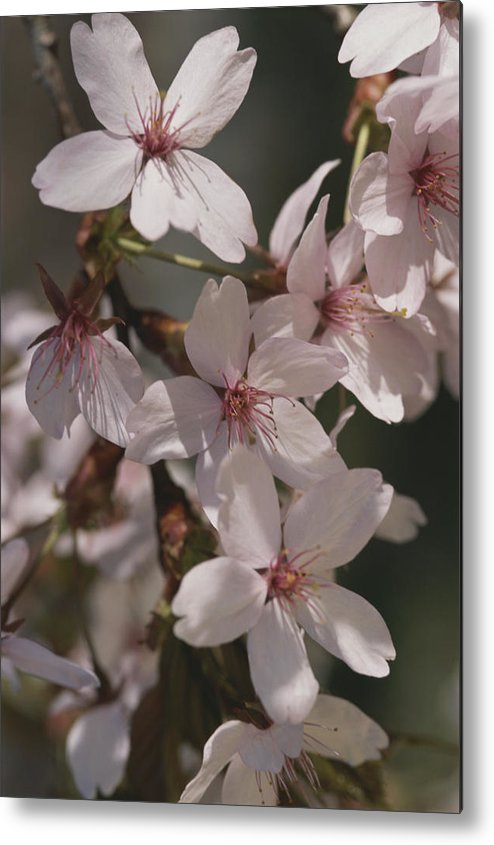 Subject Metal Print featuring the photograph Close View Of Cherry Blossoms by Darlyne A. Murawski