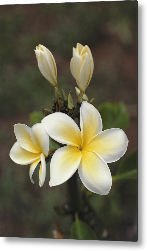 Plants Metal Print featuring the photograph Close View Of Frangipani Flowers by Ira Block