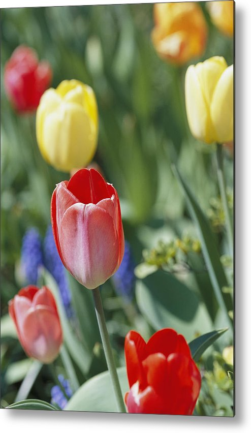 Plants Metal Print featuring the photograph Close View Of Spring Tulips In Bloom by Darlyne A. Murawski