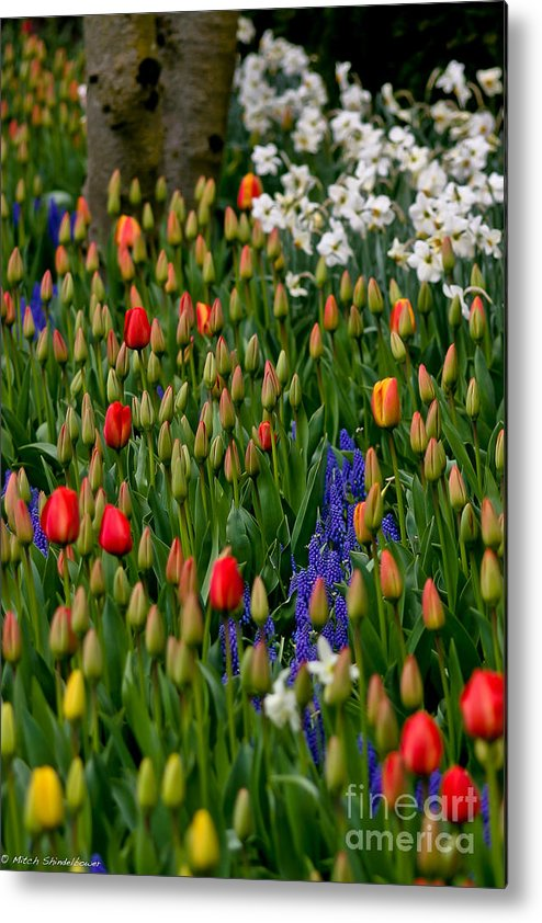 Tulips Metal Print featuring the photograph Color Mix by Mitch Shindelbower