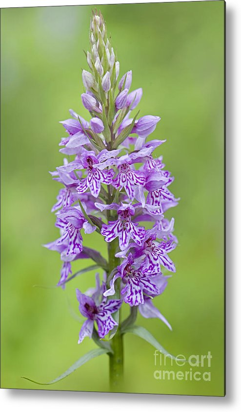 Common Spotted-orchid Metal Print featuring the photograph Common Spotted Orchid by Jacky Parker