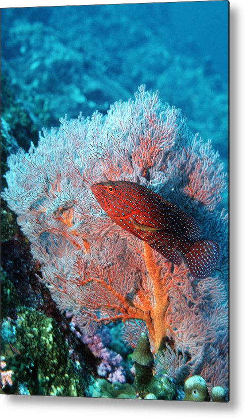 Cephalopholis Miniata Metal Print featuring the photograph Coral Hind by Georgette Douwma